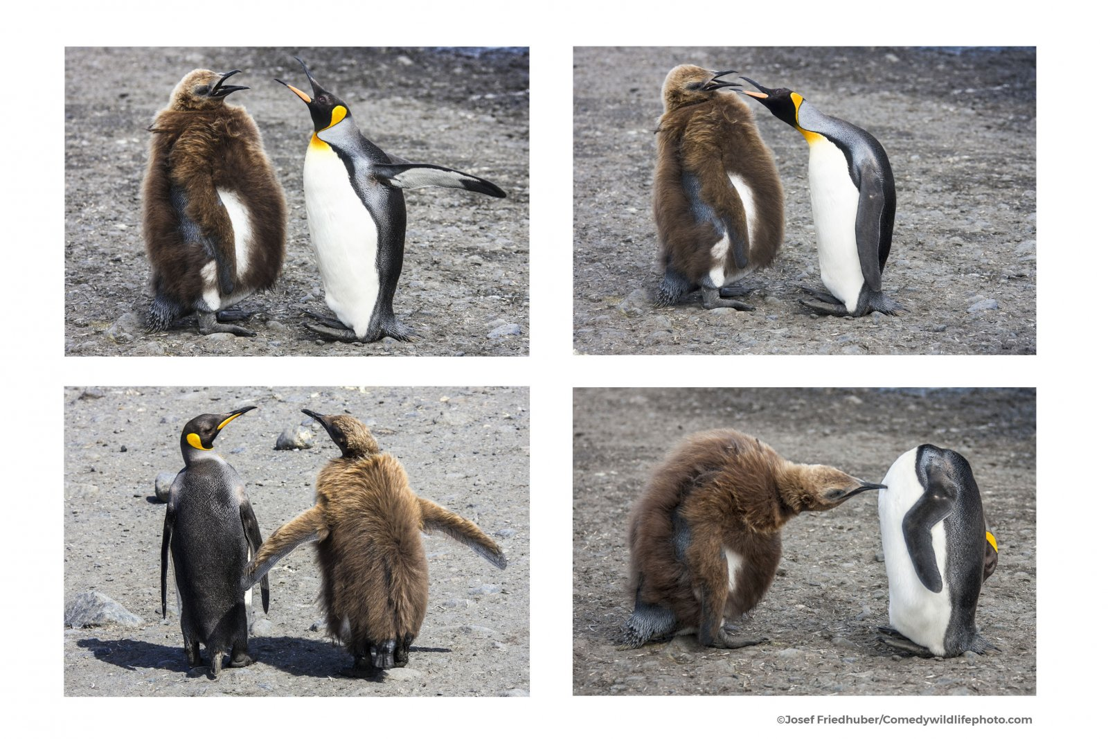 Comedy Wildlife Photo Awards 2021 showcase animals' funniest moments