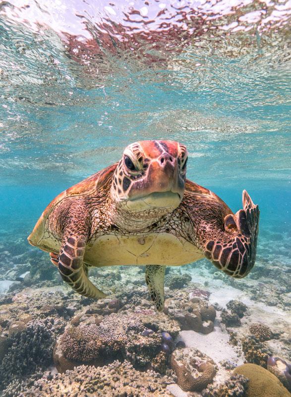 """2020搞笑野生動物攝影大賞(Comedy Wildlife Photography Awards)公佈!優勝照片為""""比中指的海龜""""! Mark_fitzpatrick"""